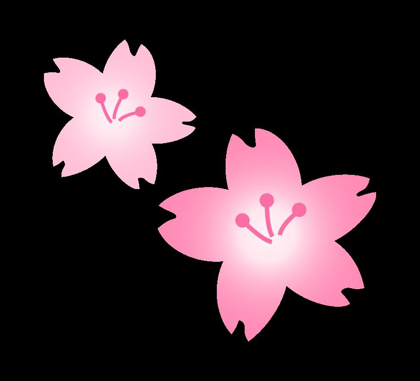 2輪の桜の花のイラスト
