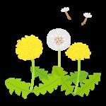 たんぽぽの花と綿毛のイラスト