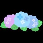 梅雨・紫陽花(アジサイ)の花のイラスト